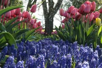 festival-de-tulipas-eua9